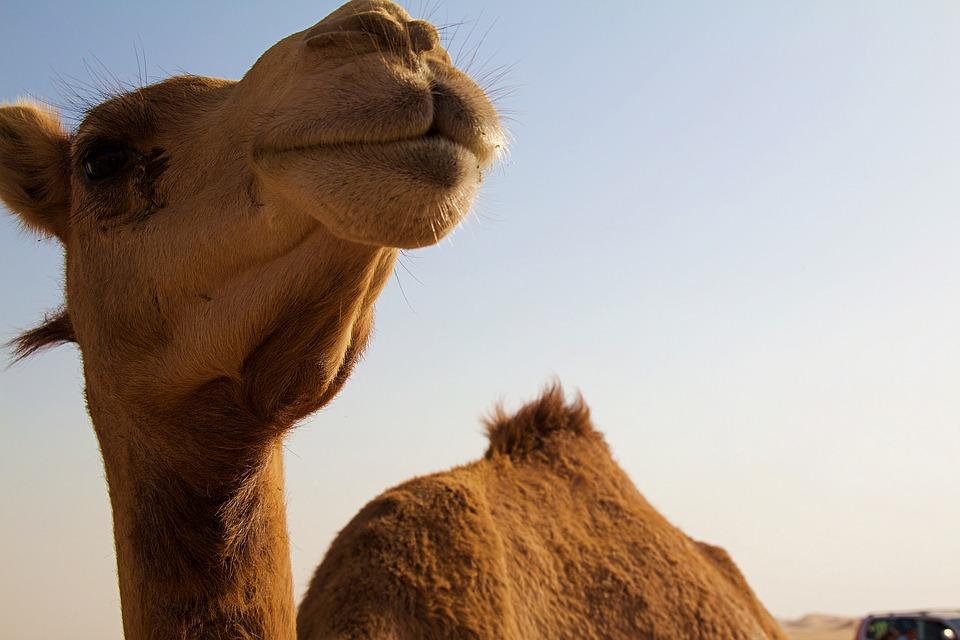abu dhabi cammello