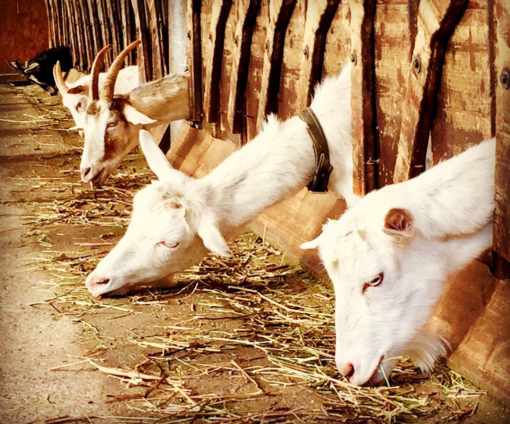 val di Blenio capre