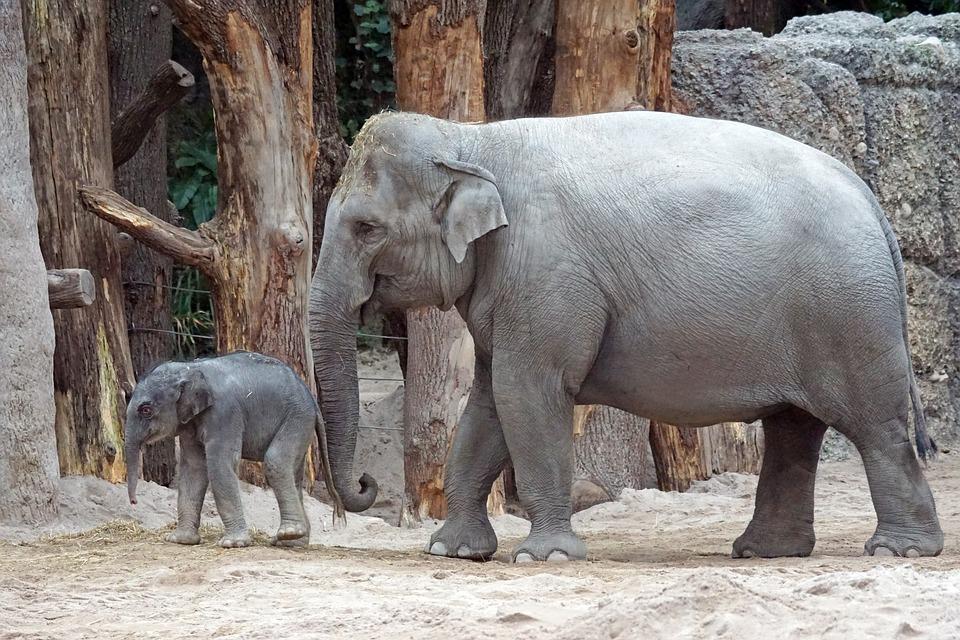 zoo di zurigo, elefanti