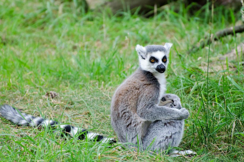 zoo di zurigo, lemure