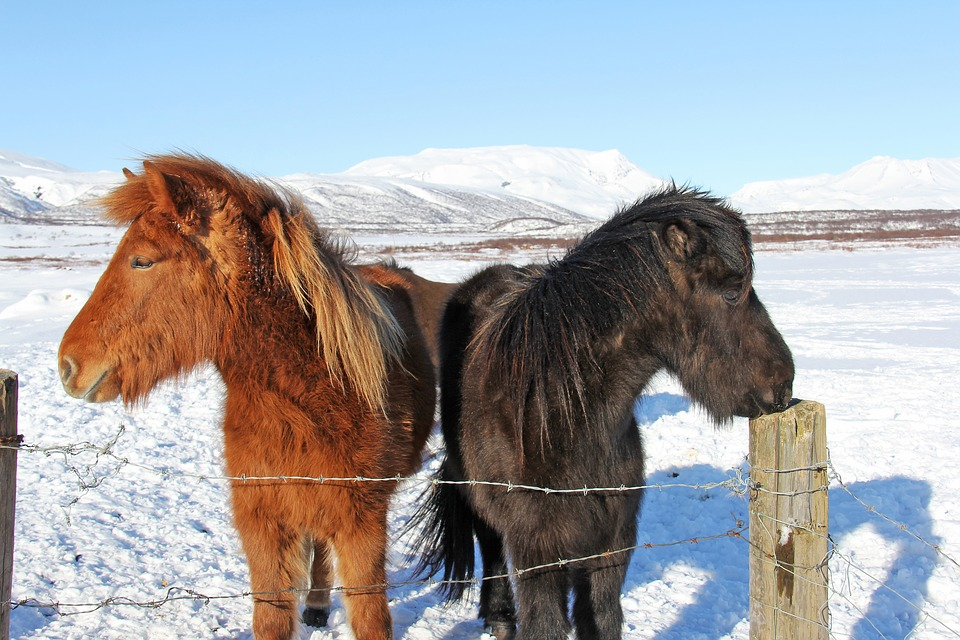 Reykjavík con bambini. Islanda. Cavalli islandesi