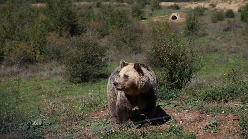 bulgaria bear
