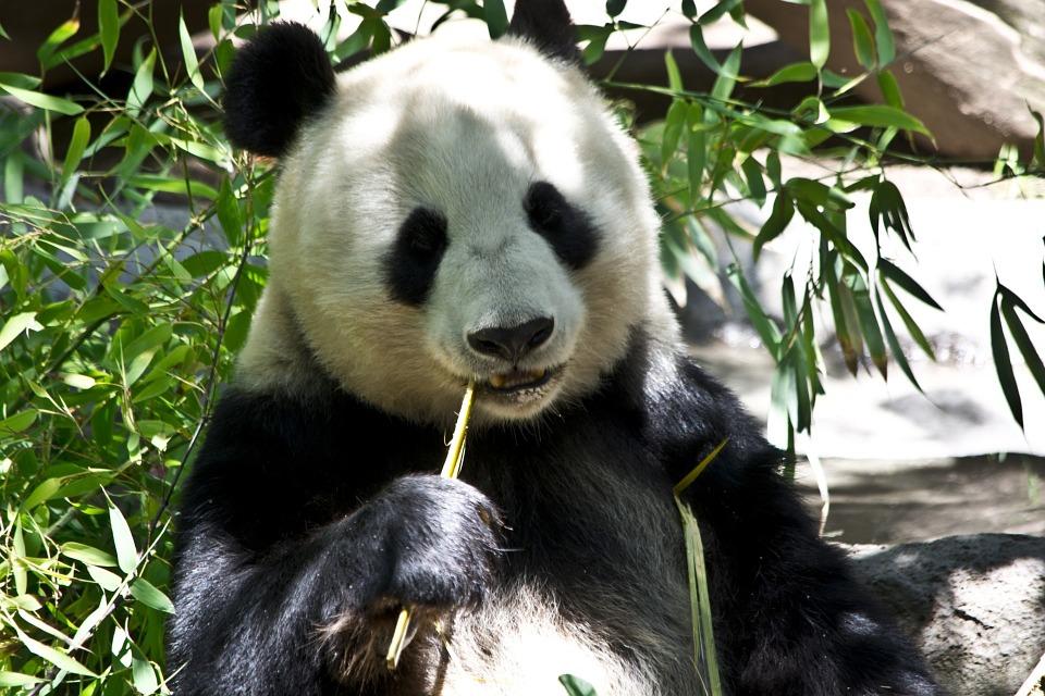 panda al parco di ueno