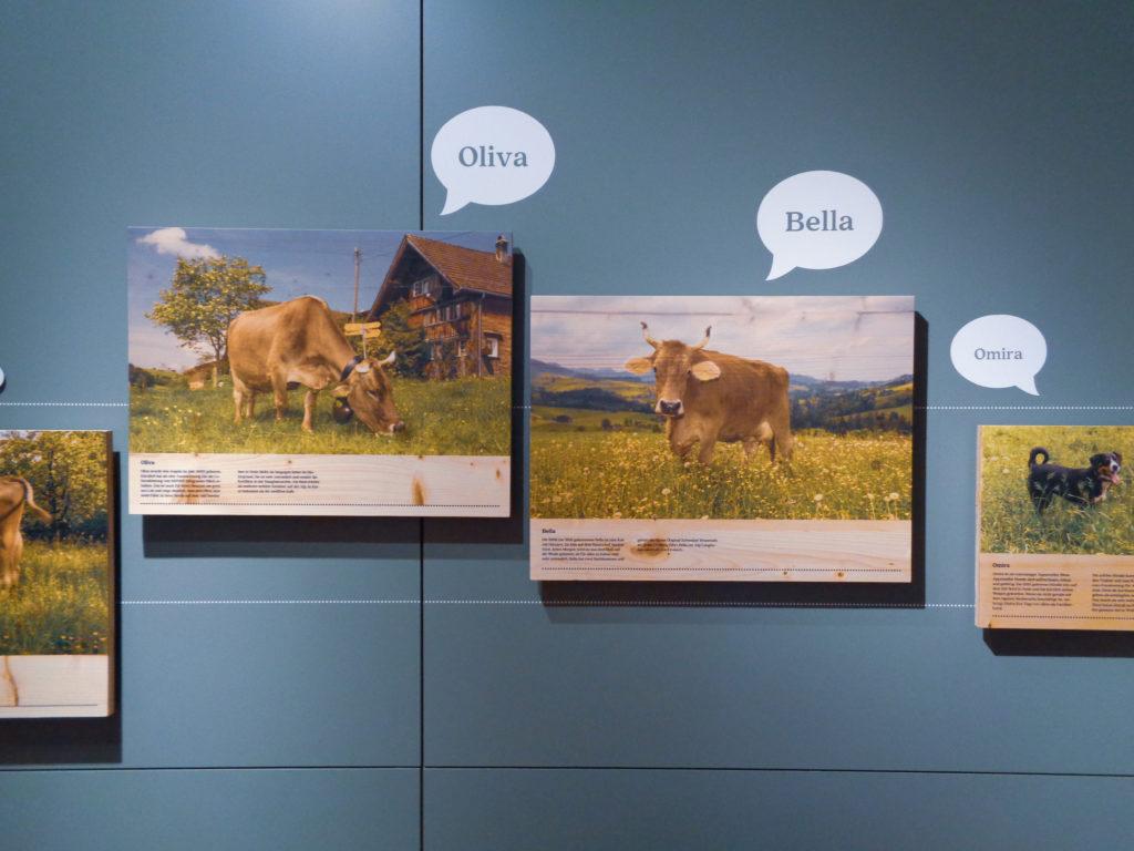 demonstration dairy stein, appenzell (switzerland). cows