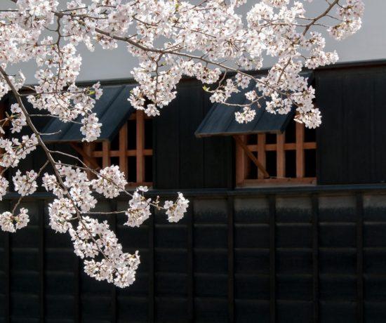 giappone fioritura ciliegi