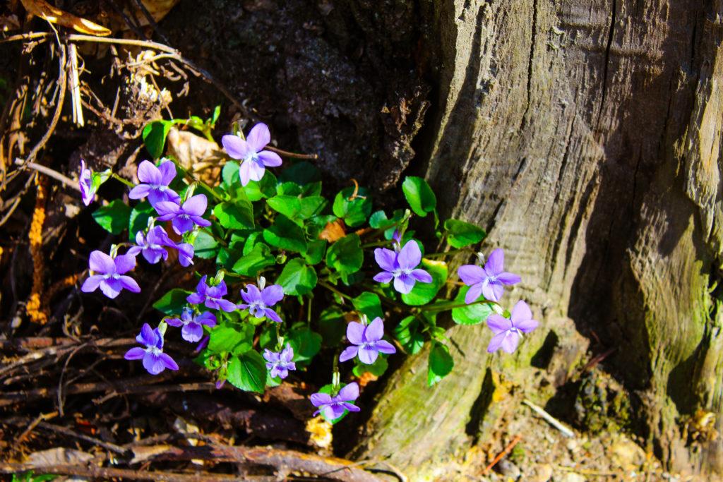 violette di bosco