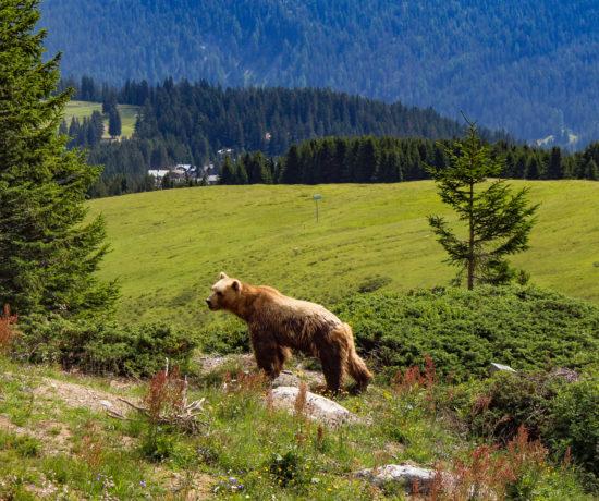orso Arosa Bärenland