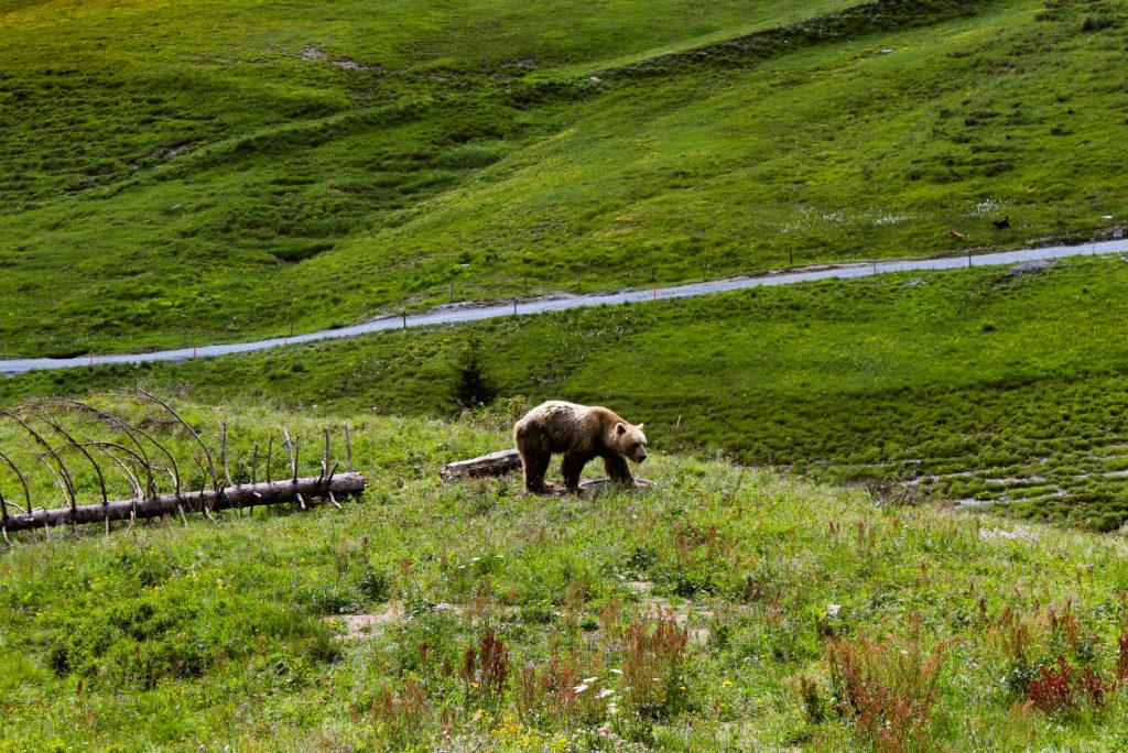 l'orso napa al parco degli orsi di Arosa
