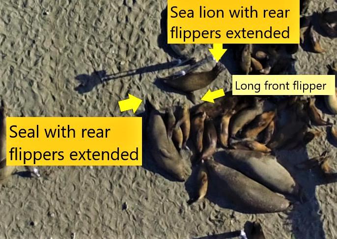 Aiutare la ricerca, contare foche e leoni marini