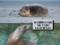 Un aiuto alla ricerca: leoni marini e foche della California