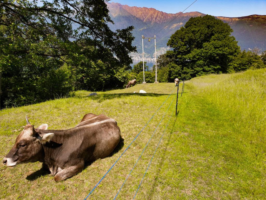 monti di caviano mucche grigie