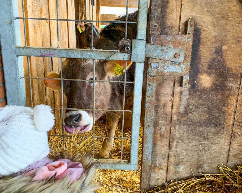 mucche a sisikon