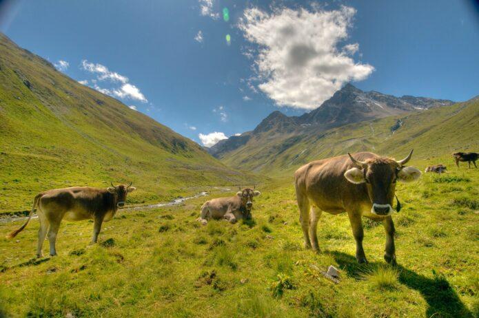 engadina grigioni mucche